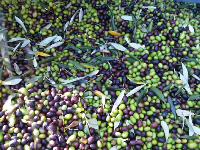 La raccolta delle olive nel montalbano mauro schievano 39 s for Raccolta olive periodo